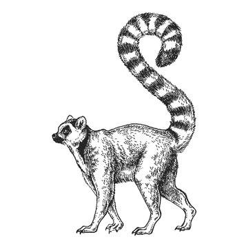 Zoo. African fauna. Lemur, madagascar. Hand drawn illustration for tattoo design, emblem, badge, t-shirt print. Engraving of wild animal. Classic vintage style image.