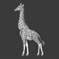 Giraffe. Camelopard. Zoo. African fauna. Hand drawn. Tattoo design. Engraving of wild animal for emblem, badge, tattoo, t-shirt print.