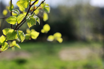 fresh spring leaves on a tree