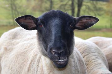 black sheep on farm