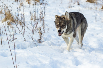 A gray dog, similar to a small wolf, walks through the snow