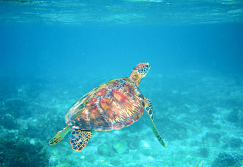 Sea turtle in clear blue sea water. Green sea turtle closeup. Wildlife of tropical coral reef.