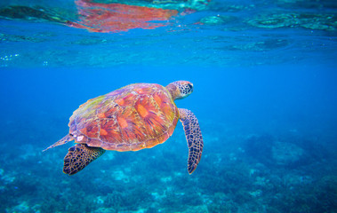 Cute sea turtle swims in sea water. Green sea turtle closeup. Wildlife of tropical coral reef.