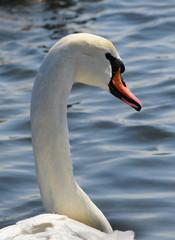 Swans - wintering waterfowl in the Black Sea