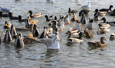 Birds of Ukraine. Swans, gulls and ducks - wintering waterfowl in the Black Sea