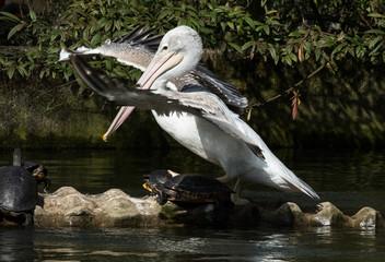Pelikan Schildkröten