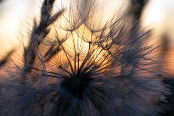Photo sur Aluminium Pissenlit Dandelion closeup against sun and sky during the dawn