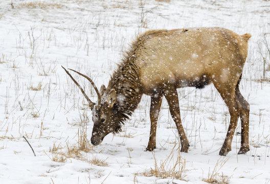 Young bull elk, or wapiti (Cervus canadensis) grazing under heavy snowfall, Neal Smith National Wildlife Refuge, Iowa, USA.