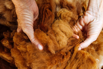 Macro closeup of two woman hands grasping unprocessed alpaca fibers