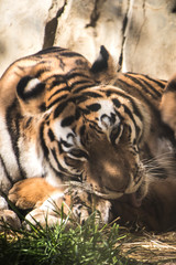 Mother tiger cleaning cub