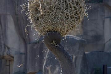 Elephant tusk with hay