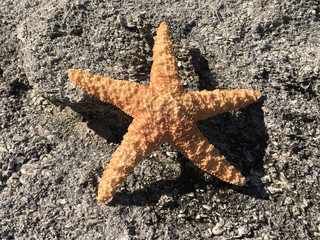 Caribbean Starfish on Sand Photo image