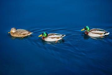 Tree ducks swim in blue water