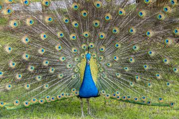Peafowl or peacock bird