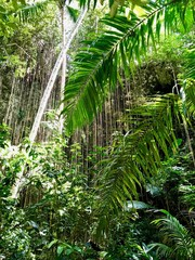 Untouched lush green nature at a gully in the Saint Thomas Parish of Barbados (Caribbean Island of the West Indies)