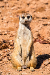 Meerkat standing at attention