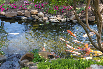 Colorful Koi fish in a rock edged stream lined with trees and flowers - selected focus