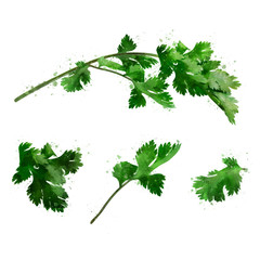 Cilantro on white background. Watercolor illustration