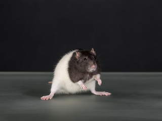 studio portrait of domestic rat