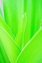 Grass and dew abstract background. Green leaf photographed close in high key. A gentle green blurry color. Extreme close-up and macro of fresh green leaf as background.