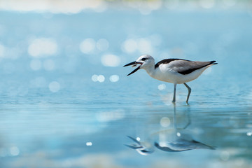 Crab plover eating lunch.Plover enjoying crab floating in between beaks at Laem Krangyai andaman sea Thailand ,rare migratory crab plover with water reflection and bokeh blurred background