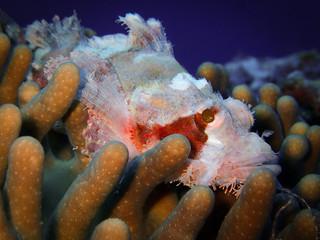 Scorpion fish macro