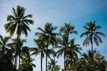 the tops of the palm trees against the blue sky, the trees large leaves silhouette green frangipani