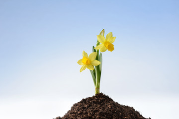 young narcissus growing on heap of earth