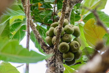 closeup photo of fig on the tree