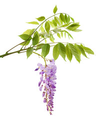 wisteria branch with flowers