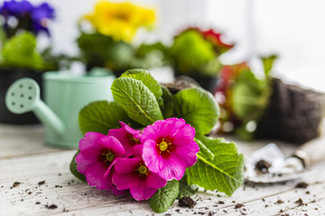 The first spring colorful primroses ready for planting.