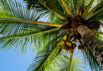 Upward view of a palm tree with coconuts