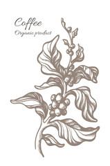 Vector sketch of coffee branch. Vintage illustration