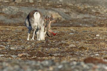 reindeer svalbard