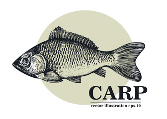 Hand drawn sketch seafood vector vintage illustration of carp fish. Can be use for menu or packaging design. Engraved style. Vintage illustration.