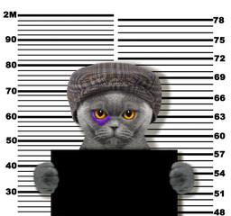 Criminal cat at the police station. Photo on white