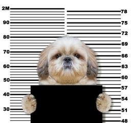 Bad shitzu dog at the police station. Photo on white