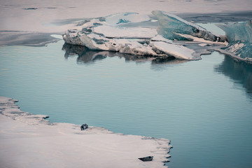 Gray seals relaxing and lying on ice sheet in the glacial lagoon Jokulsarlon in Iceland.