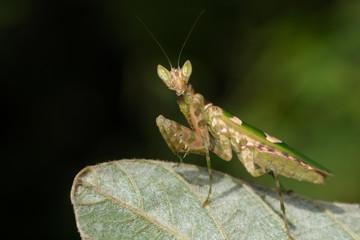 Image of flower mantis(Creobroter gemmatus) on green leaves. Insect, Animal.