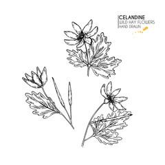 Hand drawn wild hay flowers. Celandine flower. Vintage engraved art. Botanical illustration. Good for cosmetics, medicine, treating, aromatherapy, nursing, package design, field bouquet.