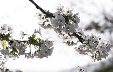 Springtime, cherry blossoms on natural background