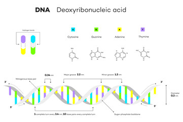 Molecular Structure Of DNA. Infographic Educational Vector Illustration