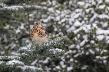 Fieldfare perching in a snowy fir tree