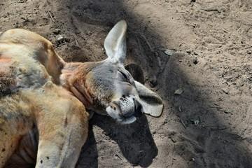 Big so funny wild red kangaroo sleeping on the ground