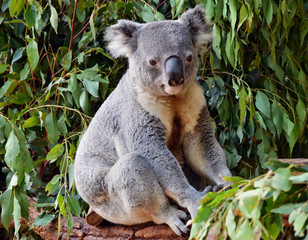 Garden Poster Koala Cute koala looking on a tree branch eucalyptus