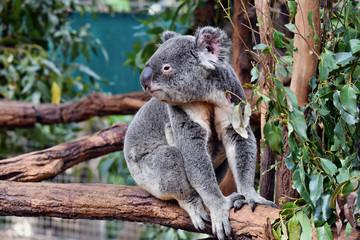 Cute koala sitting and eating eucalyptus on a tree branch