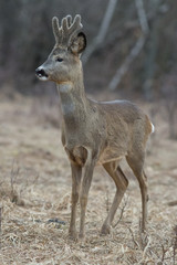 roe, deer, animal, wildlife