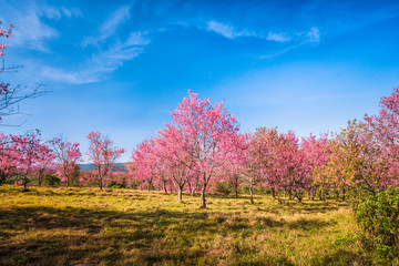 Wild himalayan cherry in sunshine day on top of mountain