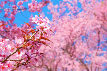 Beautiful pink cherry blossom in spring. Sakura pink flower with nature background. Soft focus