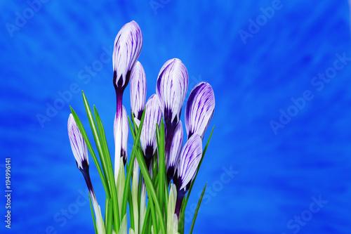 Beautiful first spring flowers crocuses bloom over blue background beautiful first spring flowers crocuses bloom over blue background selective focus copy space mightylinksfo